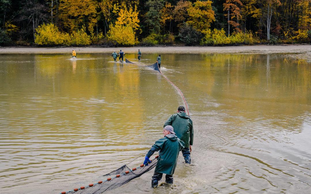 Repeuplement de poissons en Alsace